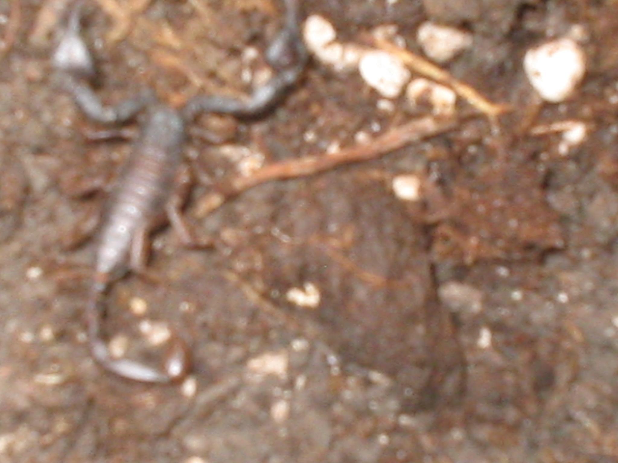 scorpion noir 2,5cm